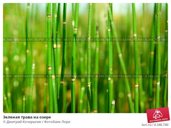 Зеленая трава на озере. Стоковое фото, фотограф Дмитрий Кочерыгин / Фотобанк Лори