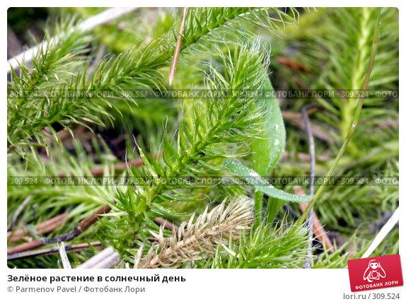 Зелёное растение в солнечный день, фото № 309524, снято 28 июля 2017 г. (c) Parmenov Pavel / Фотобанк Лори