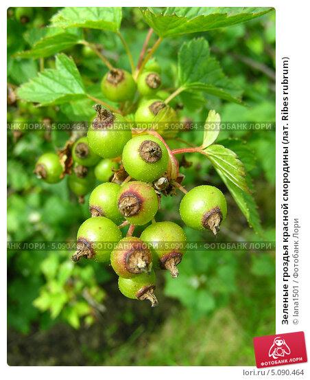 Купить «Зеленые гроздья красной смородины (лат. Ribes rubrum)», эксклюзивное фото № 5090464, снято 10 июня 2010 г. (c) lana1501 / Фотобанк Лори