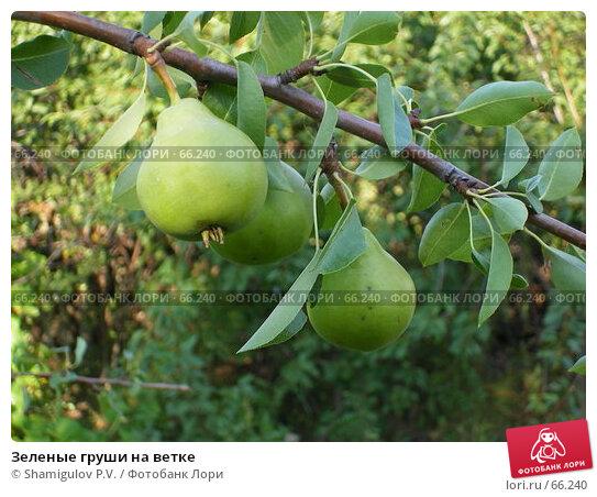 Купить «Зеленые груши на ветке», фото № 66240, снято 29 июля 2007 г. (c) Shamigulov P.V. / Фотобанк Лори