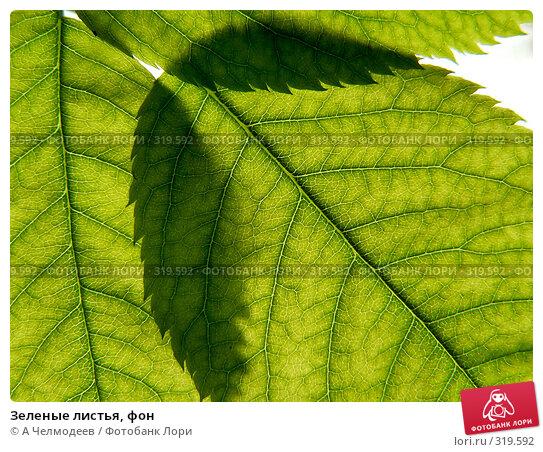 Зеленые листья, фон, фото № 319592, снято 18 мая 2006 г. (c) A Челмодеев / Фотобанк Лори