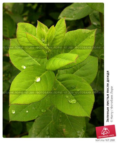 Зеленые листья после дождя, фото № 67260, снято 12 мая 2005 г. (c) Harry / Фотобанк Лори