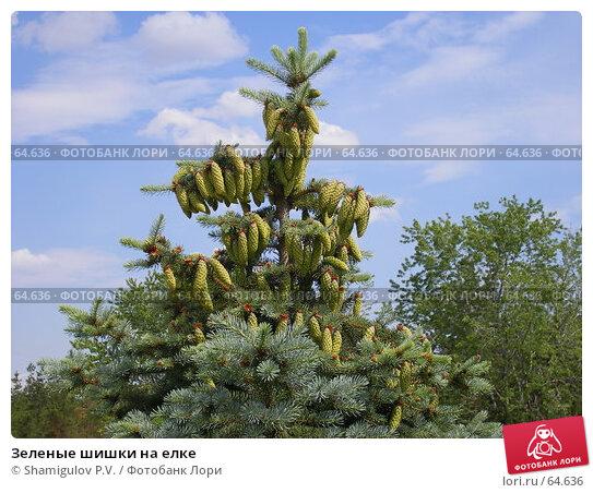 Зеленые шишки на елке, фото № 64636, снято 11 июня 2007 г. (c) Shamigulov P.V. / Фотобанк Лори