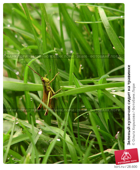 Зеленый кузнечик сидит на травинке, фото № 28600, снято 5 августа 2006 г. (c) Ольга Хорькова / Фотобанк Лори