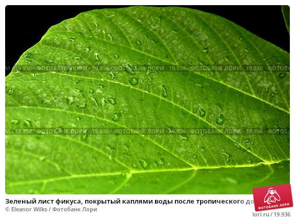 Зеленый лист фикуса, покрытый каплями воды после тропического дождя, фото № 19936, снято 19 марта 2007 г. (c) Eleanor Wilks / Фотобанк Лори