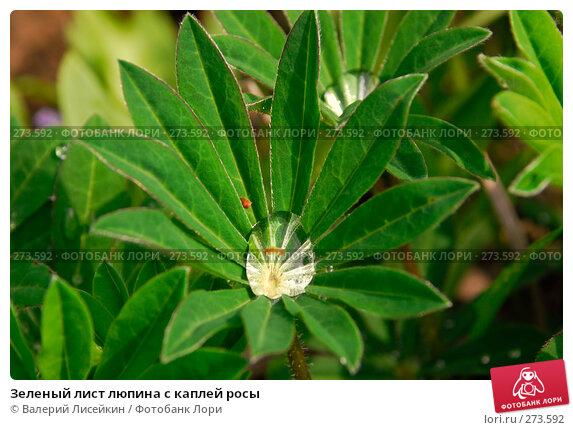 Зеленый лист люпина с каплей росы, фото № 273592, снято 2 мая 2008 г. (c) Валерий Лисейкин / Фотобанк Лори