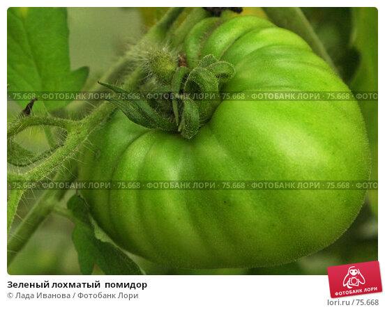 Купить «Зеленый лохматый  помидор», фото № 75668, снято 16 августа 2007 г. (c) Лада Иванова / Фотобанк Лори