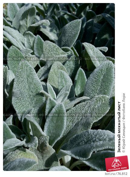 Зеленый мохнатый лист, фото № 76812, снято 1 августа 2007 г. (c) Юрий Синицын / Фотобанк Лори