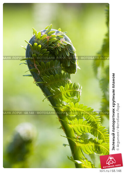 Зеленый папоротник крупным планом, фото № 68148, снято 18 мая 2007 г. (c) Argument / Фотобанк Лори