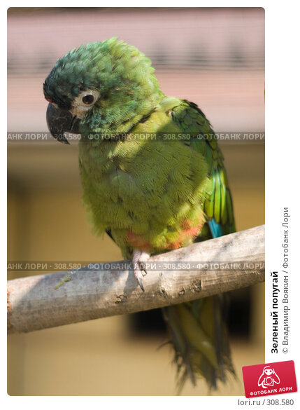 Зеленый попугай, фото № 308580, снято 17 мая 2008 г. (c) Владимир Воякин / Фотобанк Лори