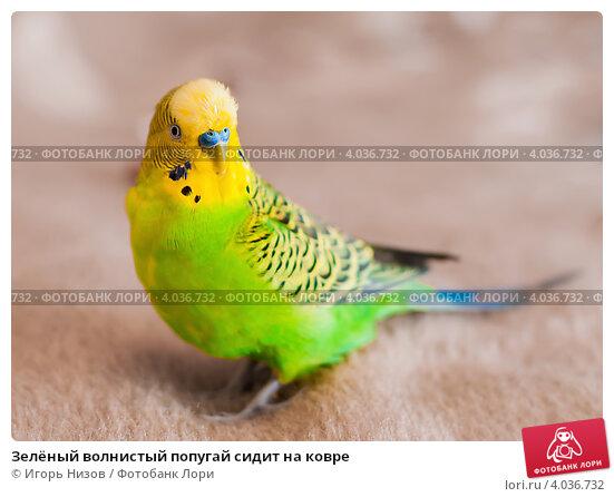 Купить «Зелёный волнистый попугай сидит на ковре», эксклюзивное фото № 4036732, снято 5 октября 2012 г. (c) Игорь Низов / Фотобанк Лори