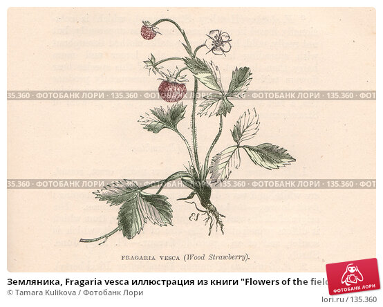 "Земляника, Fragaria vesca иллюстрация из книги ""Flowers of the field"", издано в Лондоне в 1888, ручная раскраска, иллюстрация № 135360 (c) Tamara Kulikova / Фотобанк Лори"