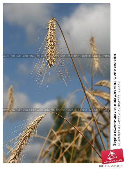 Зерна пшеницы летним днем на фоне зелени, фото № 208816, снято 29 июля 2007 г. (c) Останина Екатерина / Фотобанк Лори