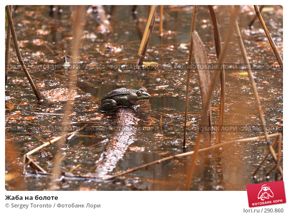 Жаба на болоте, фото № 290860, снято 9 мая 2008 г. (c) Sergey Toronto / Фотобанк Лори