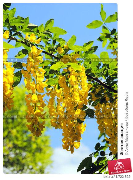 Купить «Желтая акация», фото № 1722592, снято 19 мая 2010 г. (c) Анна Мартынова / Фотобанк Лори