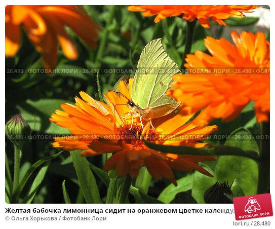 Желтая бабочка лимонница сидит на оранжевом цветке календулы и пьет нектар, фото № 28480, снято 24 июля 2006 г. (c) Ольга Хорькова / Фотобанк Лори