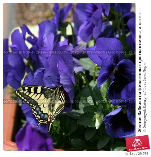 Желтая бабочка на фиолетовых цветках виолы, анютиных глазок, фото № 29976, снято 26 марта 2007 г. (c) Demyanyuk Kateryna / Фотобанк Лори