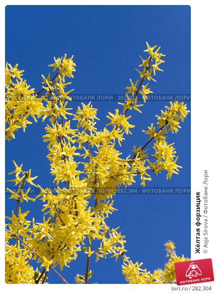 Жёлтая форзиция, фото № 282304, снято 26 апреля 2008 г. (c) Asja Sirova / Фотобанк Лори
