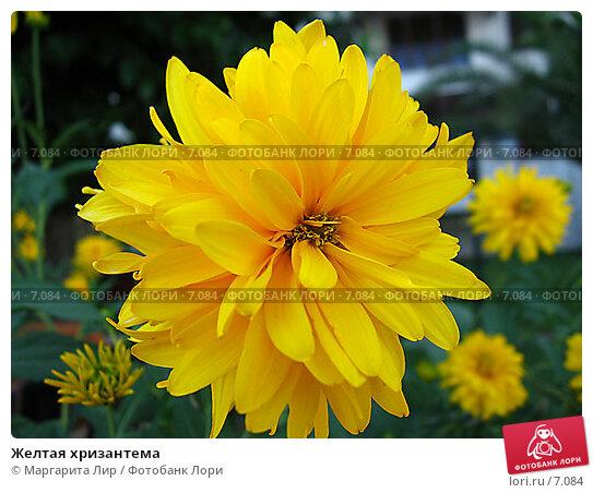Желтая хризантема, фото № 7084, снято 8 июля 2006 г. (c) Маргарита Лир / Фотобанк Лори