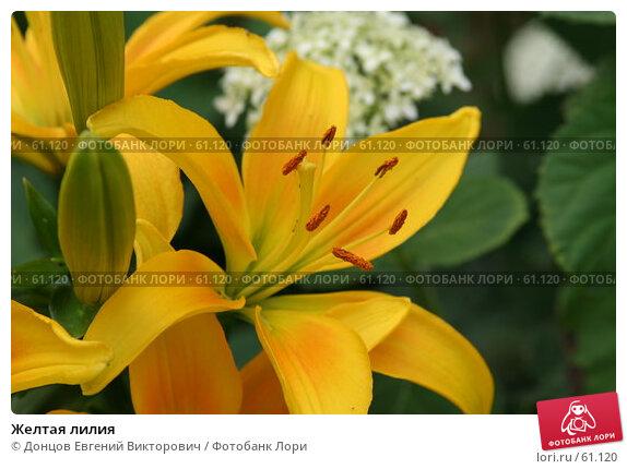 Желтая лилия, фото № 61120, снято 10 июля 2007 г. (c) Донцов Евгений Викторович / Фотобанк Лори