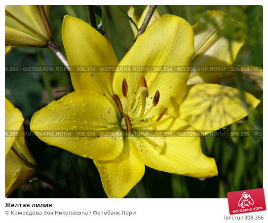 Желтая лилия, фото № 308356, снято 17 июля 2005 г. (c) Комоедова Зоя Николаевна / Фотобанк Лори