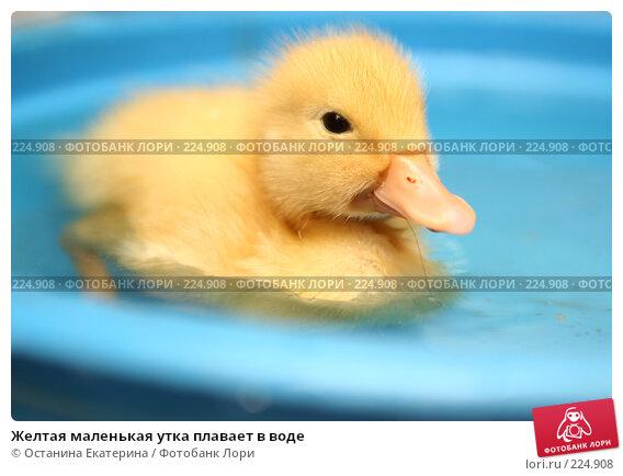 Желтая маленькая утка плавает в воде, фото № 224908, снято 25 мая 2007 г. (c) Останина Екатерина / Фотобанк Лори