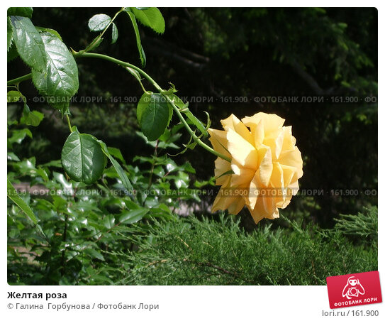 Желтая роза, фото № 161900, снято 22 июня 2005 г. (c) Галина  Горбунова / Фотобанк Лори