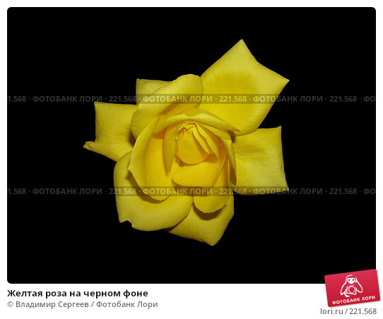 Желтая роза на черном фоне, фото № 221568, снято 22 июля 2017 г. (c) Владимир Сергеев / Фотобанк Лори