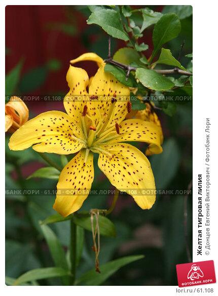 Купить «Желтая тигровая лилия», фото № 61108, снято 10 июля 2007 г. (c) Донцов Евгений Викторович / Фотобанк Лори