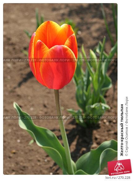 Желто-красный тюльпан, фото № 270228, снято 1 мая 2006 г. (c) Сергей Осипов / Фотобанк Лори