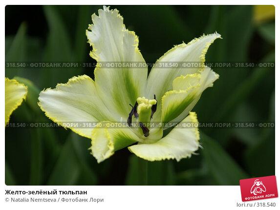 Желто-зелёный тюльпан, эксклюзивное фото № 318540, снято 8 апреля 2008 г. (c) Natalia Nemtseva / Фотобанк Лори