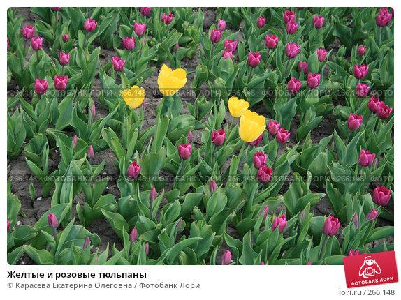 Желтые и розовые тюльпаны, фото № 266148, снято 27 апреля 2008 г. (c) Карасева Екатерина Олеговна / Фотобанк Лори