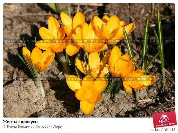 Желтые крокусы, фото № 164412, снято 29 марта 2007 г. (c) Елена Блохина / Фотобанк Лори