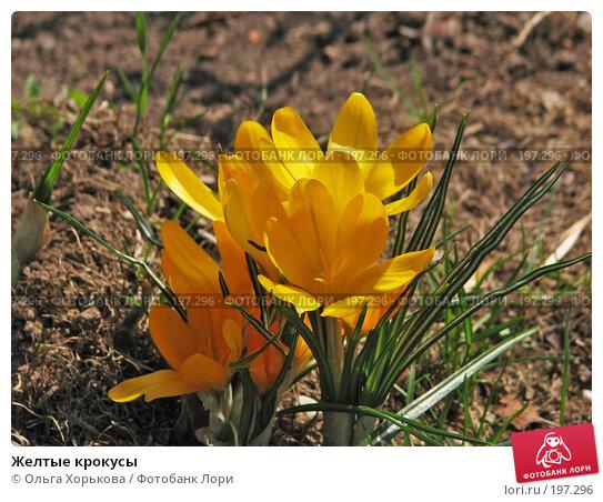 Купить «Желтые крокусы», фото № 197296, снято 1 мая 2007 г. (c) Ольга Хорькова / Фотобанк Лори