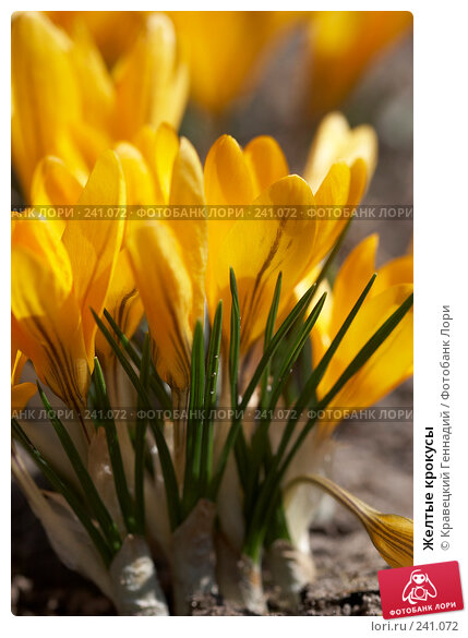 Желтые крокусы, фото № 241072, снято 22 февраля 2017 г. (c) Кравецкий Геннадий / Фотобанк Лори