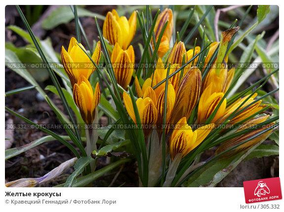 Желтые крокусы, фото № 305332, снято 7 апреля 2005 г. (c) Кравецкий Геннадий / Фотобанк Лори