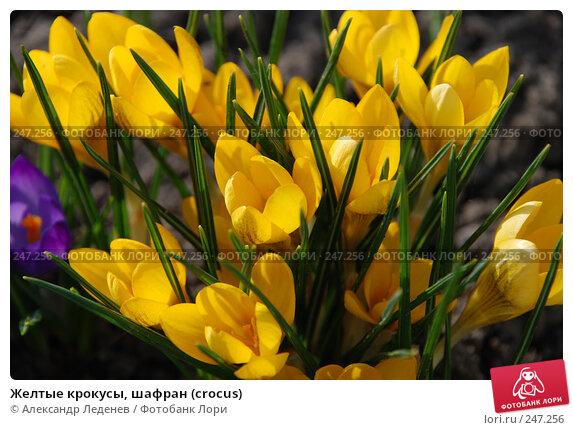 Желтые крокусы, шафран (crocus), фото № 247256, снято 4 апреля 2008 г. (c) Александр Леденев / Фотобанк Лори
