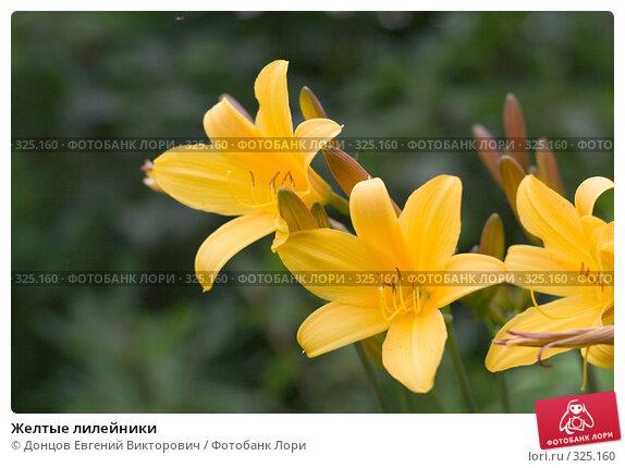 Желтые лилейники, фото № 325160, снято 16 июня 2008 г. (c) Донцов Евгений Викторович / Фотобанк Лори