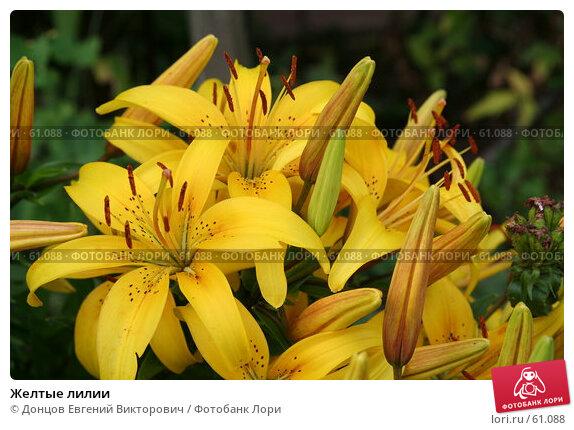 Желтые лилии, фото № 61088, снято 9 июля 2007 г. (c) Донцов Евгений Викторович / Фотобанк Лори