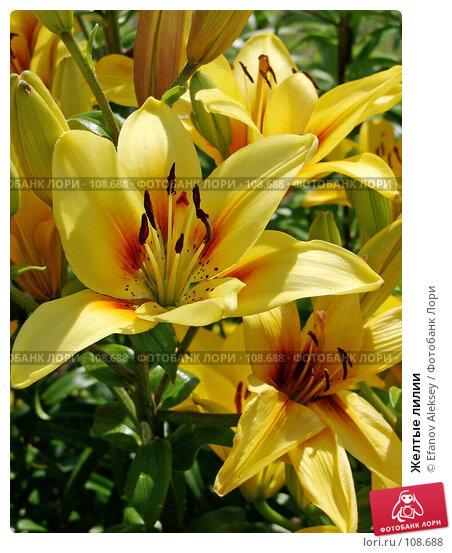 Купить «Желтые лилии», фото № 108688, снято 1 января 2002 г. (c) Efanov Aleksey / Фотобанк Лори