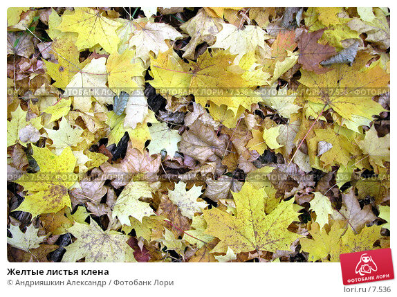 Желтые листья клена, фото № 7536, снято 1 октября 2005 г. (c) Андрияшкин Александр / Фотобанк Лори
