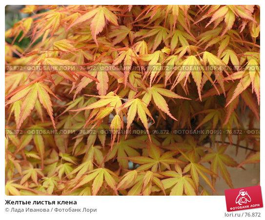 Желтые листья клена, фото № 76872, снято 10 апреля 2007 г. (c) Лада Иванова / Фотобанк Лори
