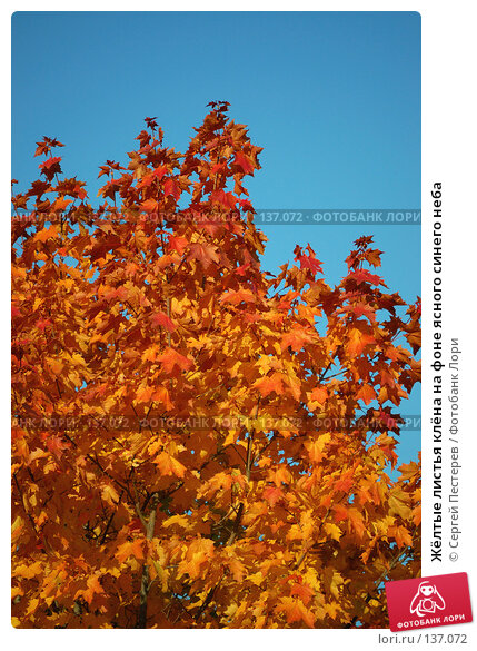 Жёлтые листья клёна на фоне ясного синего неба, фото № 137072, снято 21 сентября 2007 г. (c) Сергей Пестерев / Фотобанк Лори