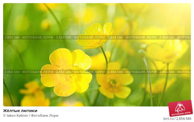Купить «Жёлтые лютики», фото № 2854580, снято 27 июля 2009 г. (c) Iakov Kalinin / Фотобанк Лори