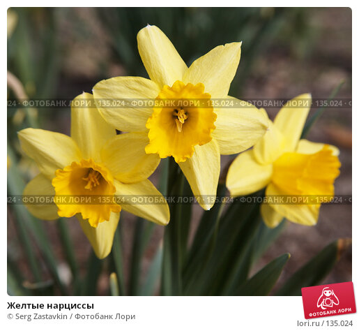 Желтые нарциссы, фото № 135024, снято 22 мая 2006 г. (c) Serg Zastavkin / Фотобанк Лори