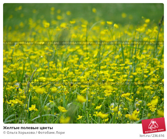 Желтые полевые цветы, фото № 236616, снято 11 июня 2007 г. (c) Ольга Хорькова / Фотобанк Лори