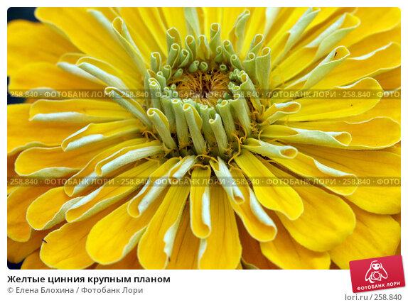 Желтые цинния крупным планом, фото № 258840, снято 15 июля 2007 г. (c) Елена Блохина / Фотобанк Лори