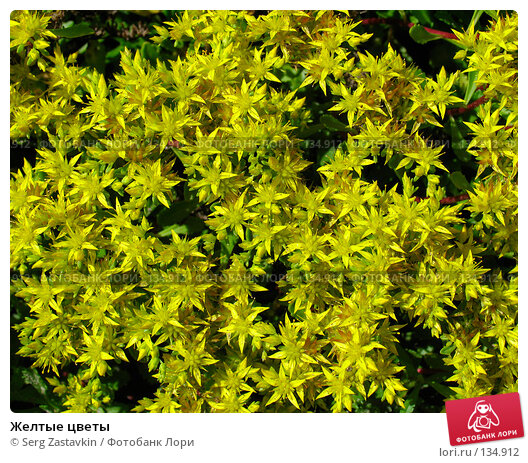 Желтые цветы, фото № 134912, снято 28 июня 2005 г. (c) Serg Zastavkin / Фотобанк Лори