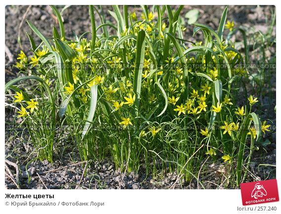 Желтые цветы, фото № 257240, снято 8 апреля 2008 г. (c) Юрий Брыкайло / Фотобанк Лори