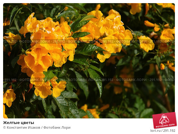 Купить «Желтые цветы», фото № 291192, снято 8 мая 2008 г. (c) Константин Исаков / Фотобанк Лори